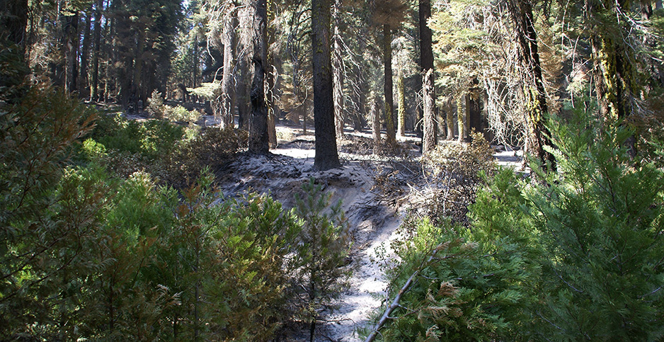 Plants growing in on the floor of Stanislaus National Forest after a wildfire. Photo credit: Department of Agriculture/Flickr