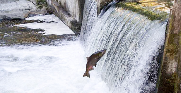 Columbia River dam salmon. Photo credit:  Columbia Law School/Student Animal Legal Defense Fund