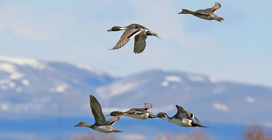 Northern pintails in flight at Bear River Migratory Bird Refuge in Utah. Photo credit: J. Kelly/U.S. Fish and Wildlife Service/Flickr