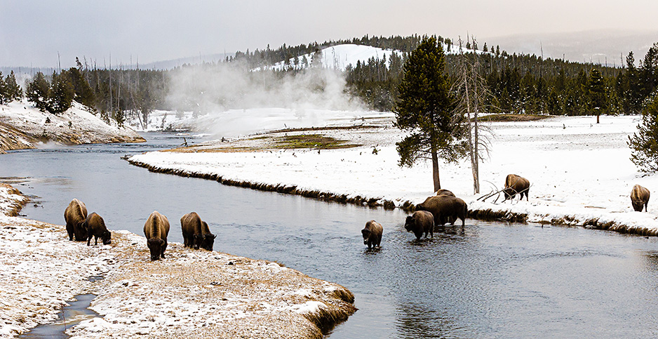 American bison in Yellowstone National Park in Montana. Photo credit:Thomas Hanahoe/NHPA/Avalon.red/Newscom