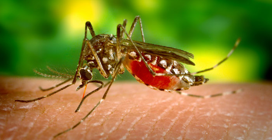 Aedes aegypti mosquito. Photo credit: James Gathany, jentavery/Flickr