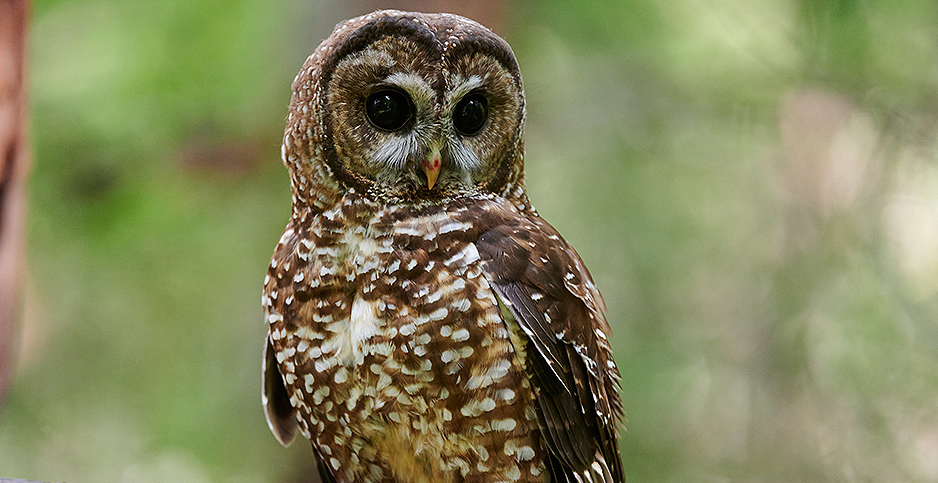 Northern spotted owl. Photo credit: Frank D. Lospalluto/Flickr